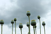Opium papaver heads on the sky background close up