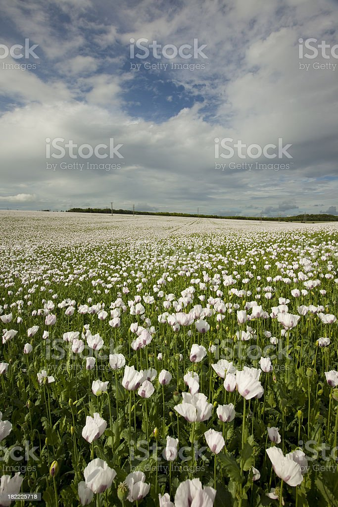 Opium Poppies royalty-free stock photo