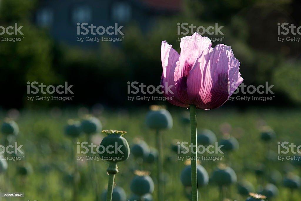 Opium poppies stock photo