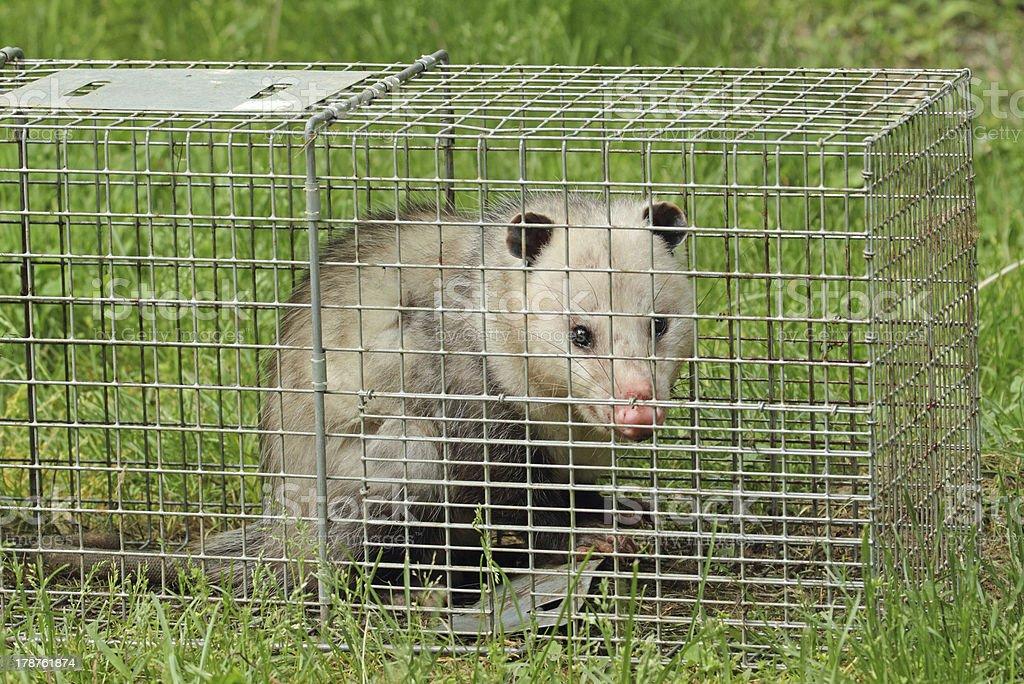 Opossum in a Trap stock photo