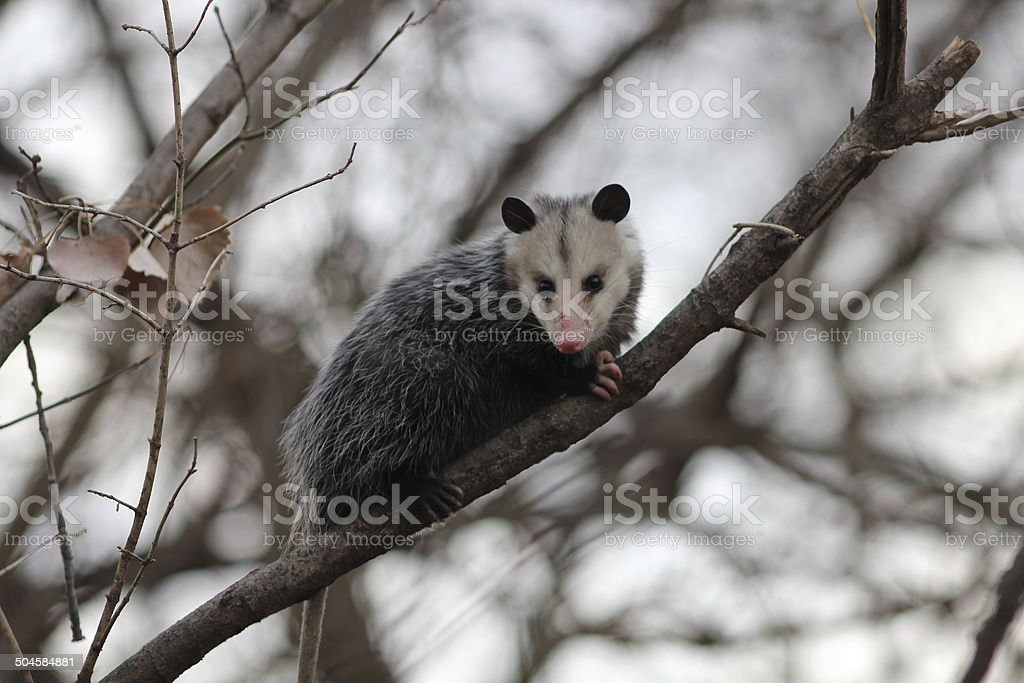 Opossum in a tree stock photo