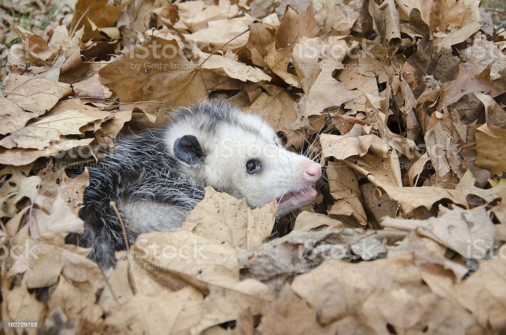 Opossum in leaves royalty-free stock photo