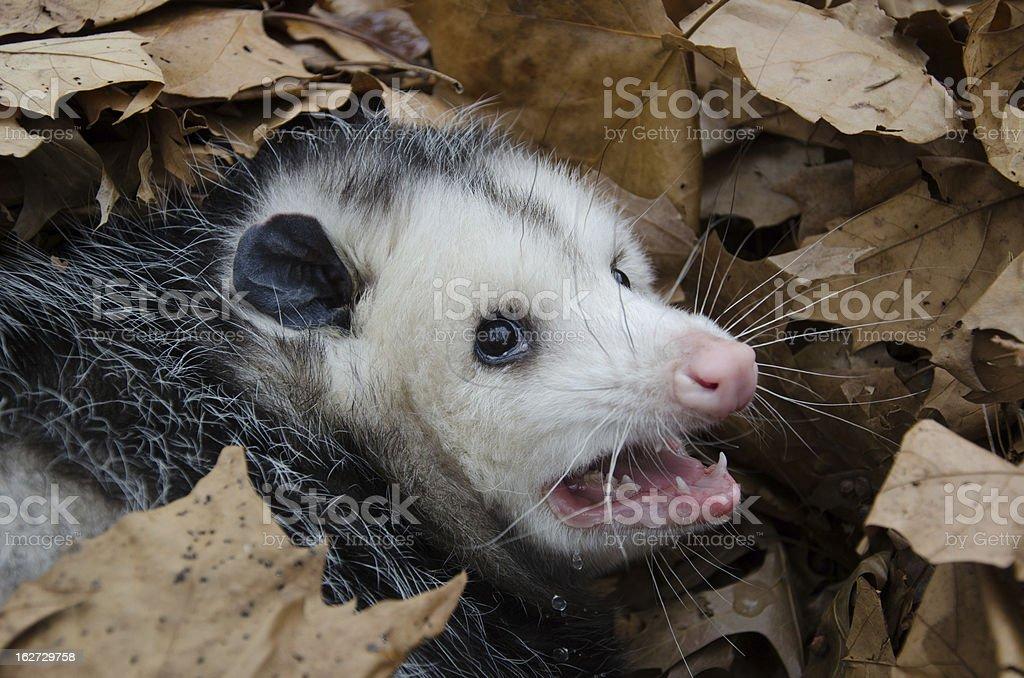 Opossum in leaves stock photo
