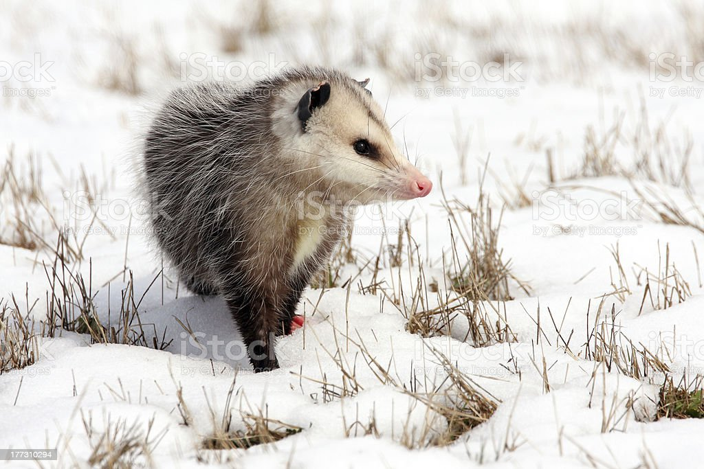 Opossum in snow covered winter field stock photo