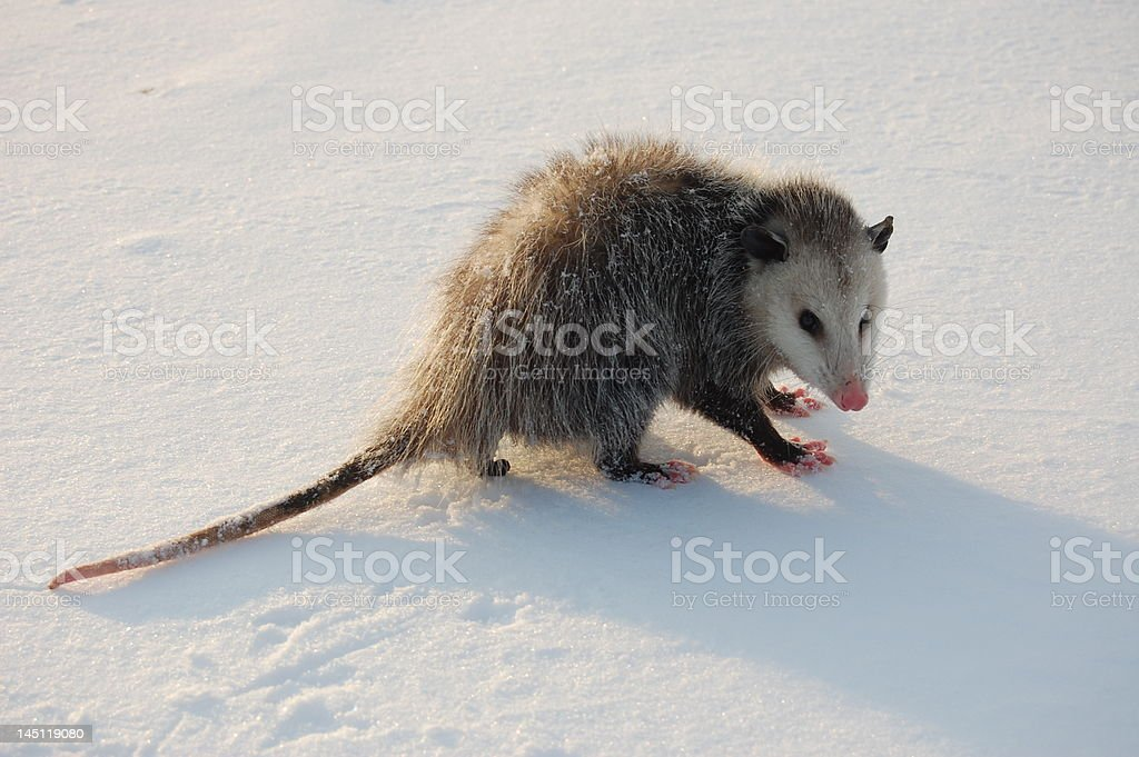 Opossum in the Snow royalty-free stock photo