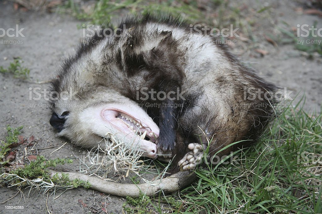 Opossum stock photo