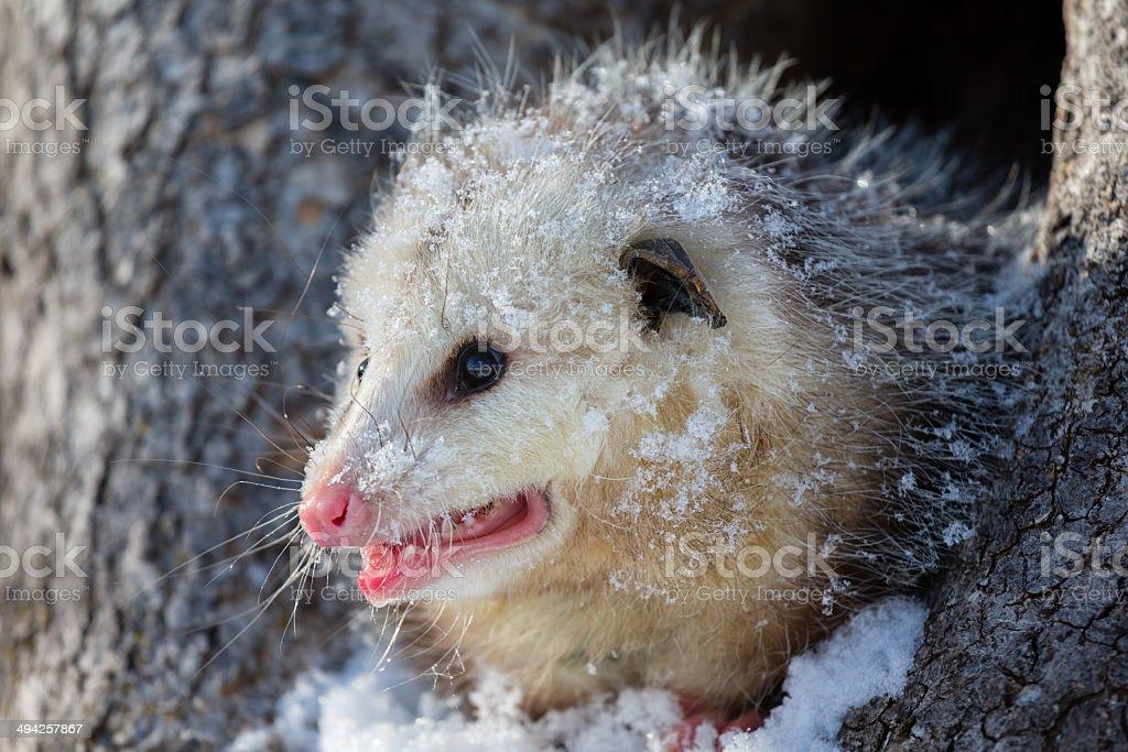 Opossum royalty-free stock photo