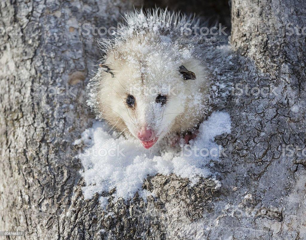 Opossum stock photo