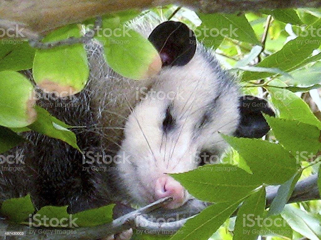 Opossum Sleeping in Tree stock photo