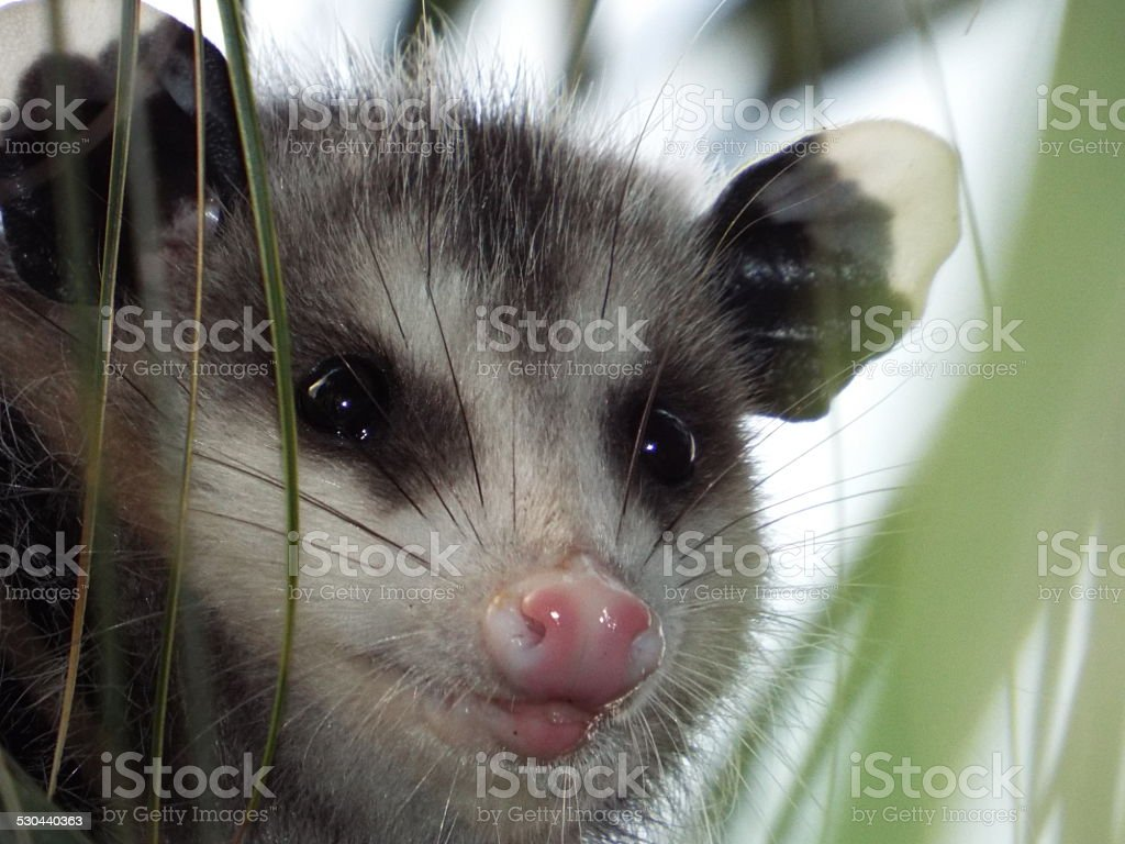 Opossum up close in palm tree stock photo