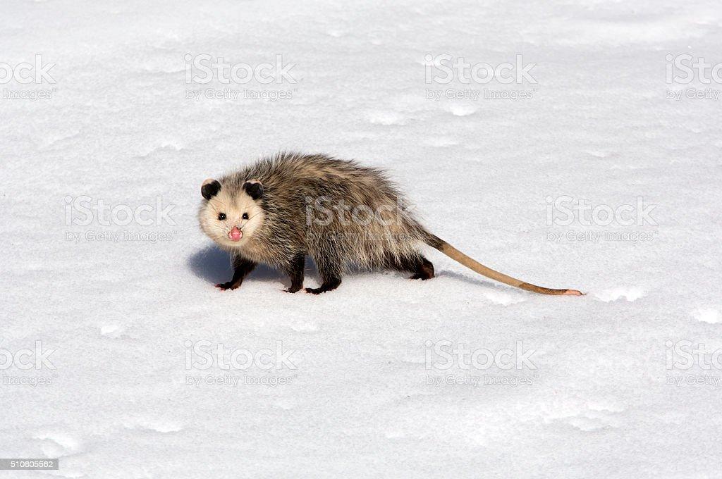 Opossum walking on the snow stock photo