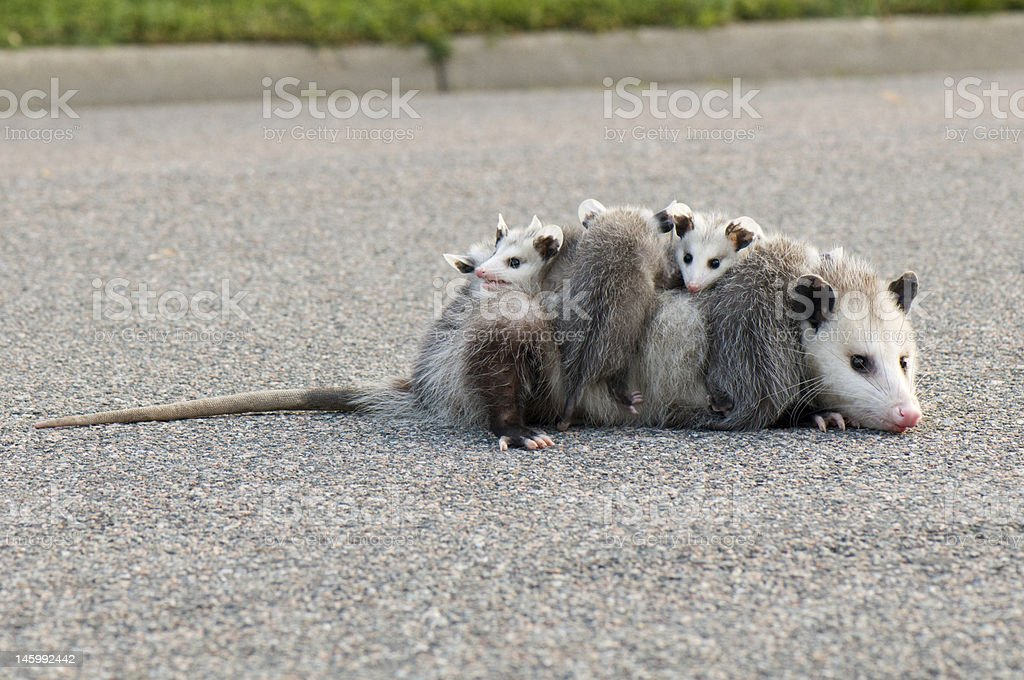 Opossum with babies stock photo