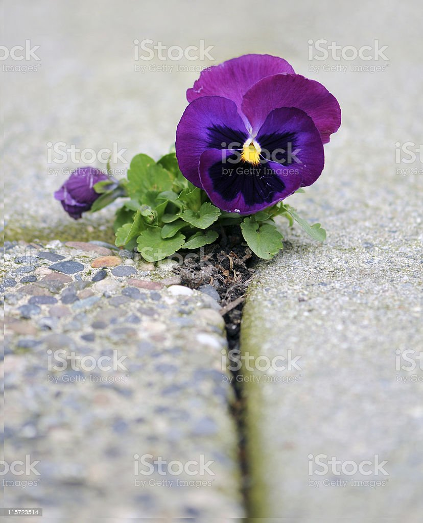Opportunity and Hardship of Purple Flowering Plant in Concret Hole royalty-free stock photo