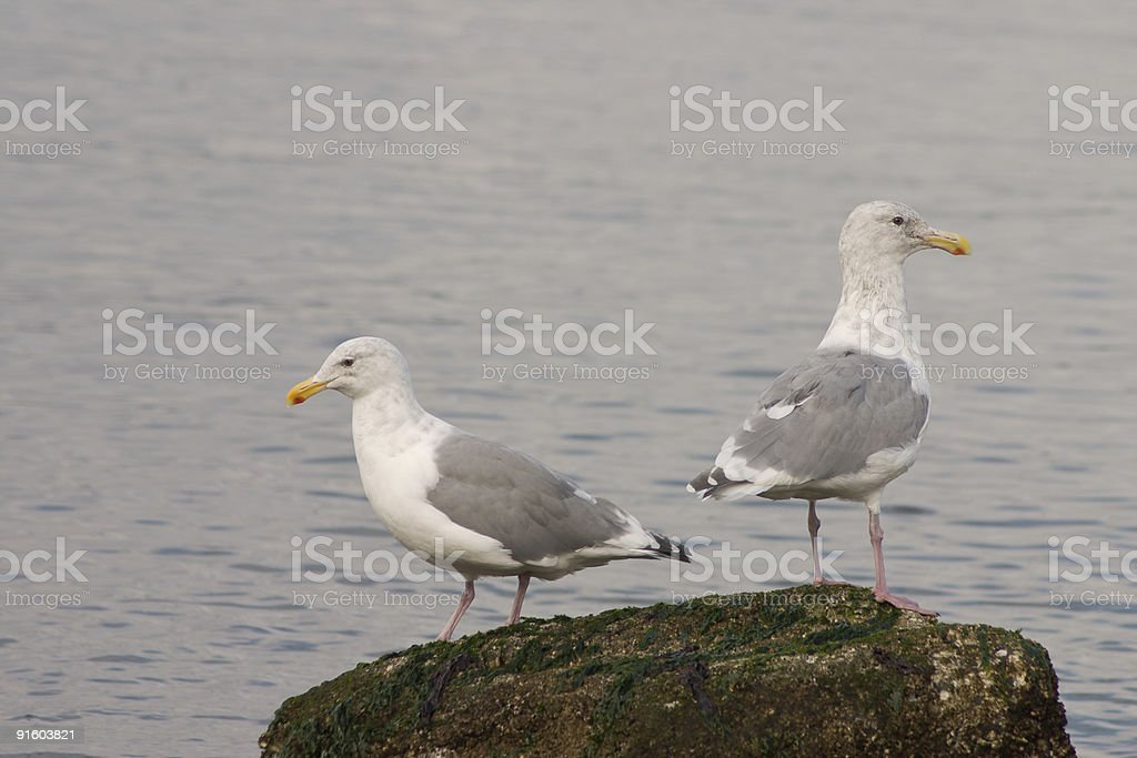 opposed seagulls stock photo