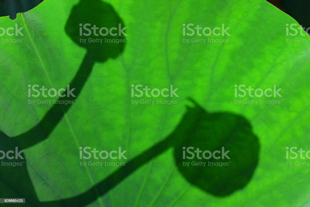 Opposing flower bud shadows cast onto Lily pad stock photo