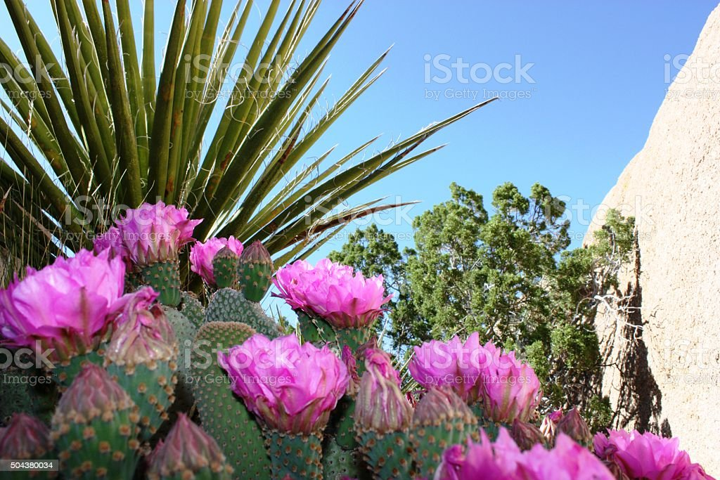 Opuntia basilaris in the Joshua Tree National Park, USA stock photo