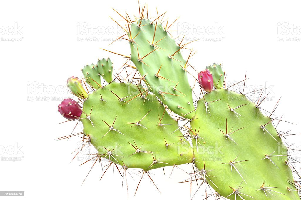 Opuntia cactus stock photo