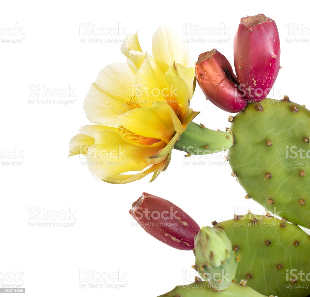 Opuntia ficus indica. Flower and young fruit, isolated stock photo