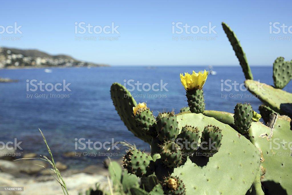 Opuntia ficus indica stock photo