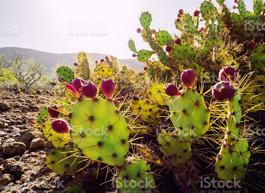 Opuntia ficus-indica stock photo