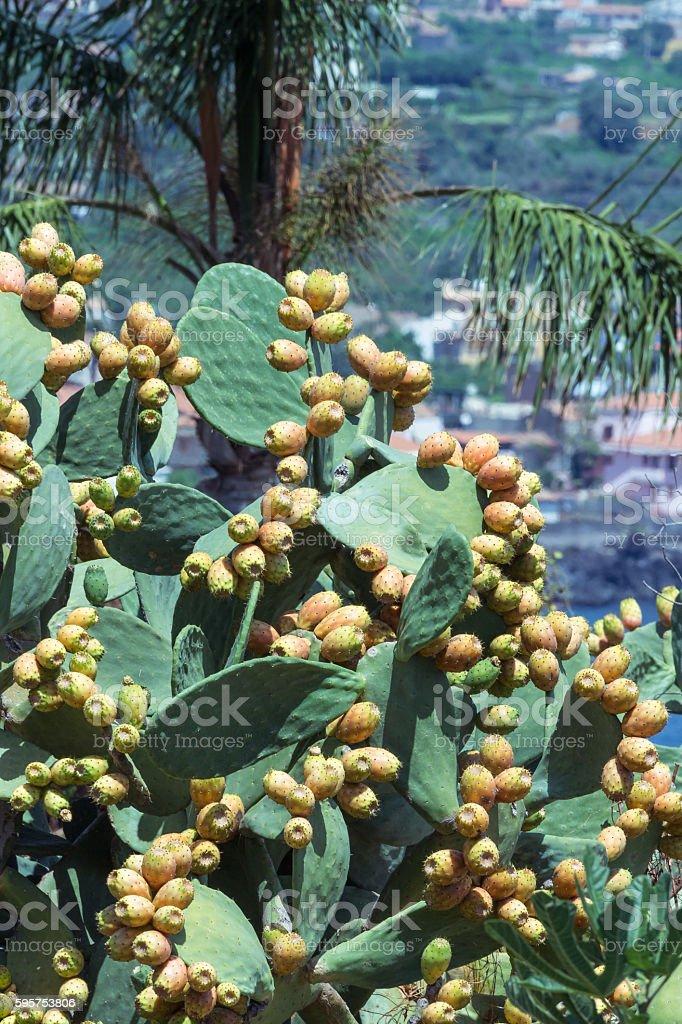 Opuntia ficus-indica stock photo