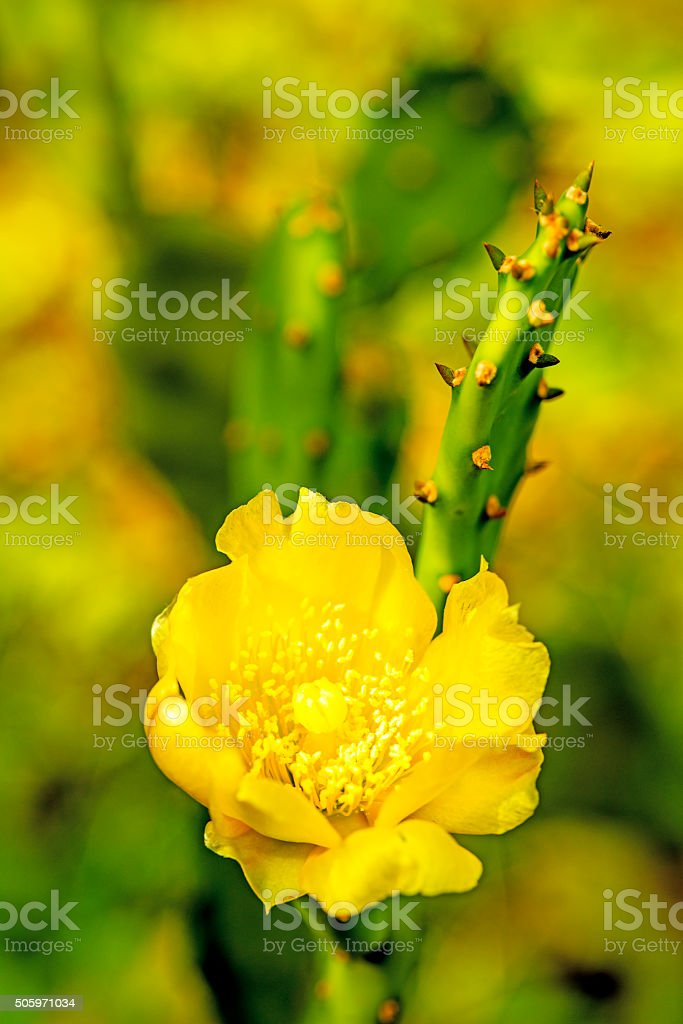 Opuntia ficus-indica with flower stock photo