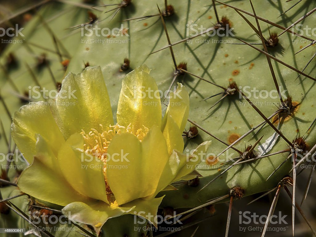 Opuntia phaeacantha royalty-free stock photo