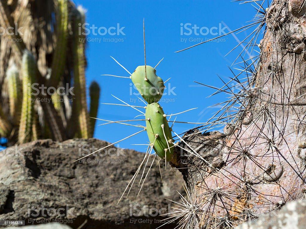 Opuntia quimilo as baby cactus stock photo