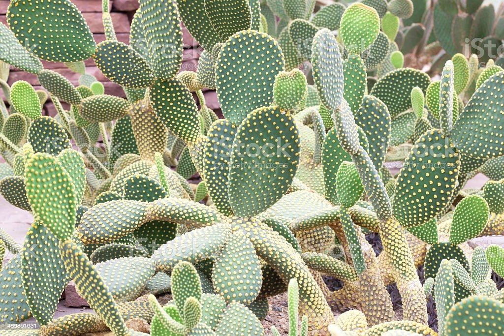 Opuntia rufida Cactaceae stock photo