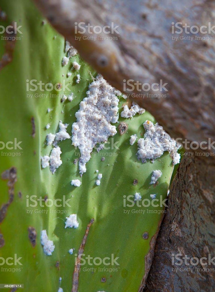 Opuntia with parasites in Cabo de Gata stock photo