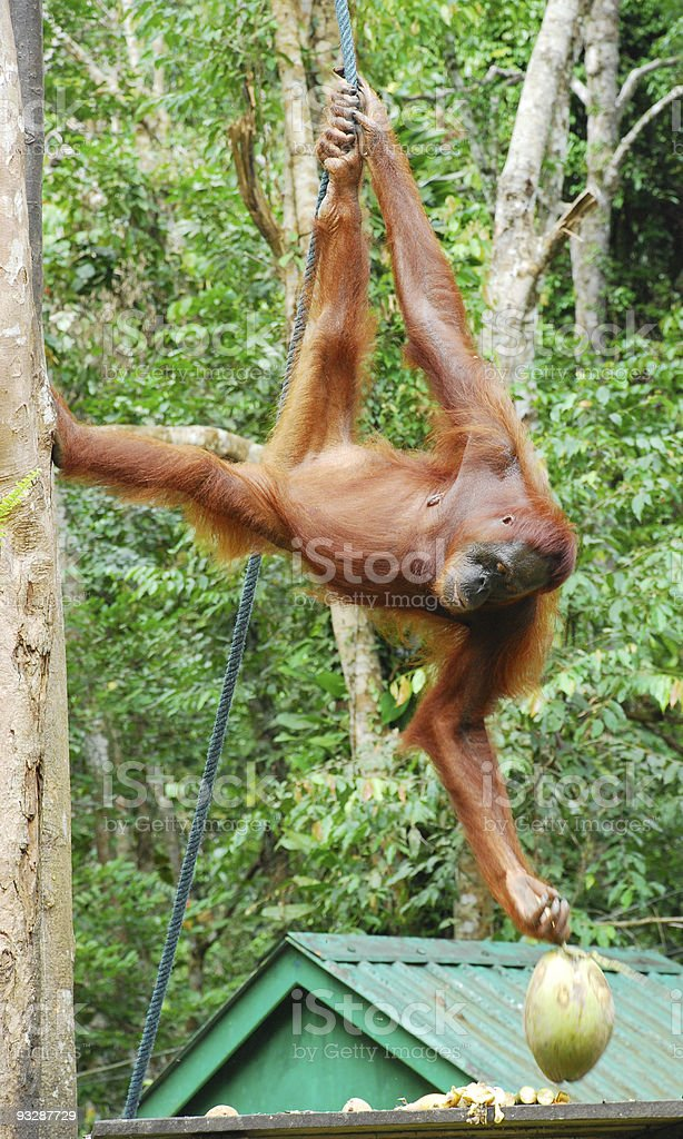 Orag utan taking coconut stock photo