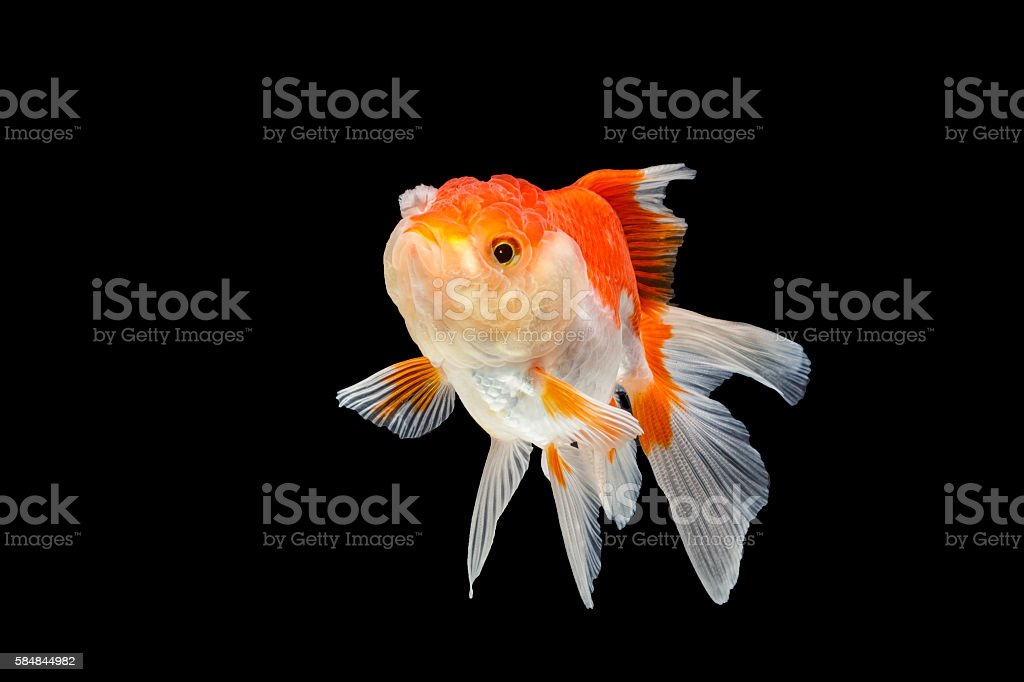 Oranda gold fish isolated on black background stock photo