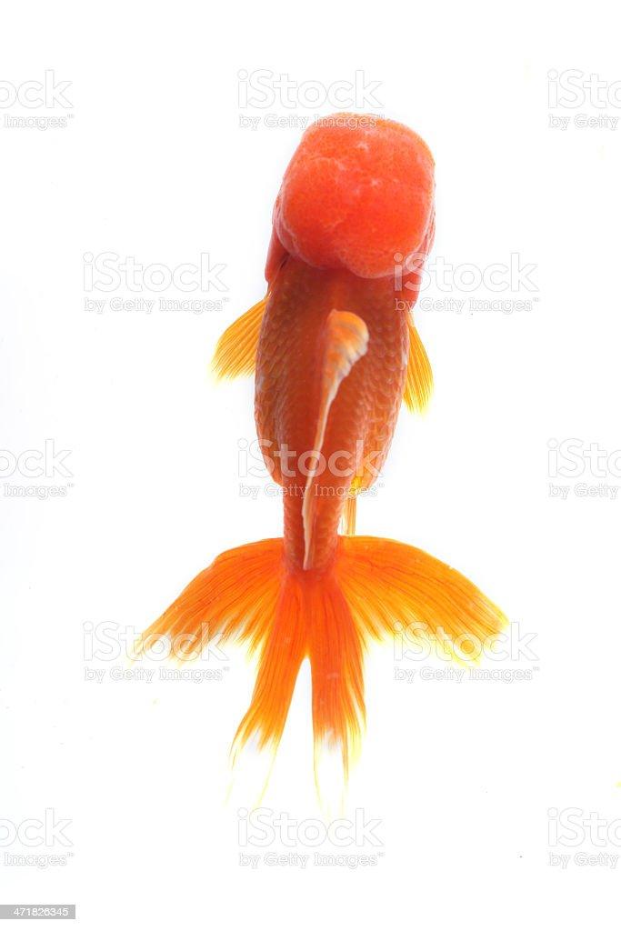 Oranda goldfish stock photo
