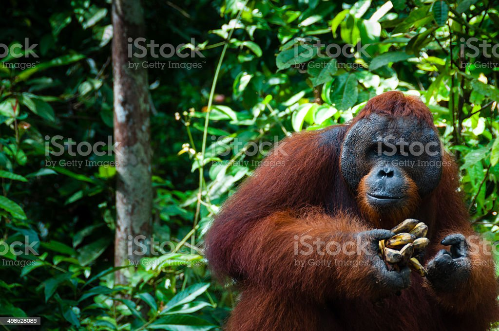 Orang Utan alpha male with banana in Borneo Indonesia stock photo