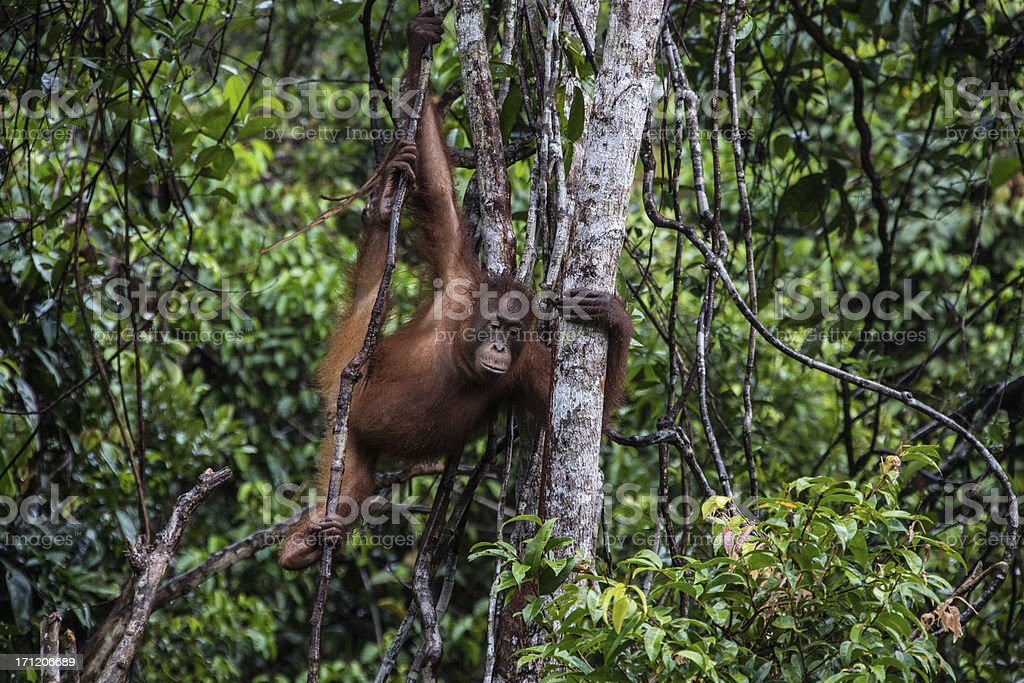 Orang Utan baby sitting in the tree stock photo