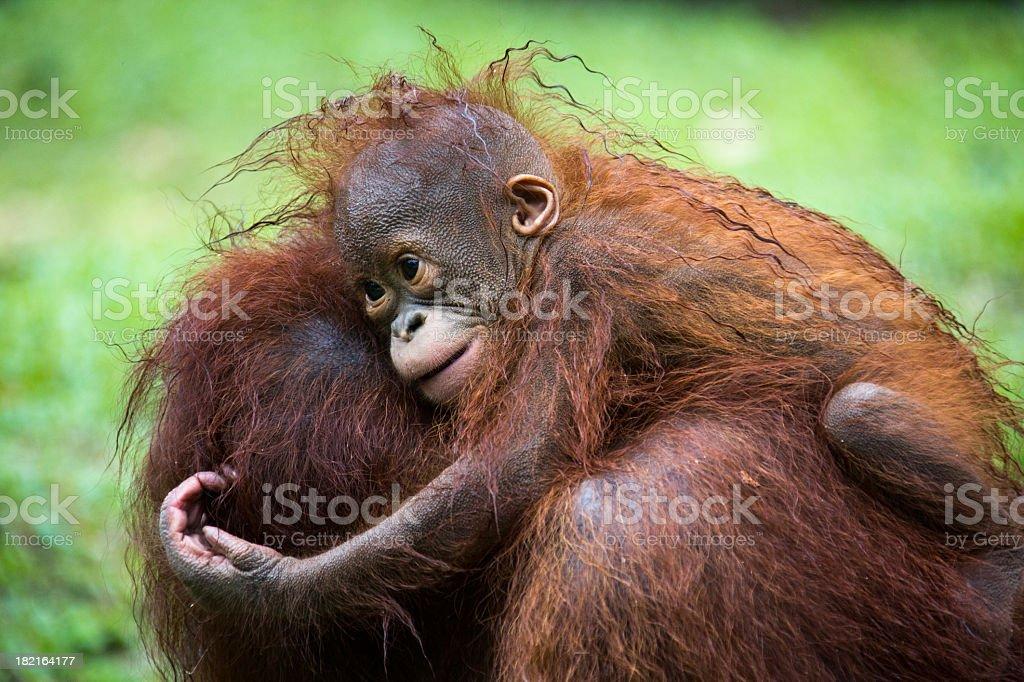 Orang Utan baby with mother stock photo