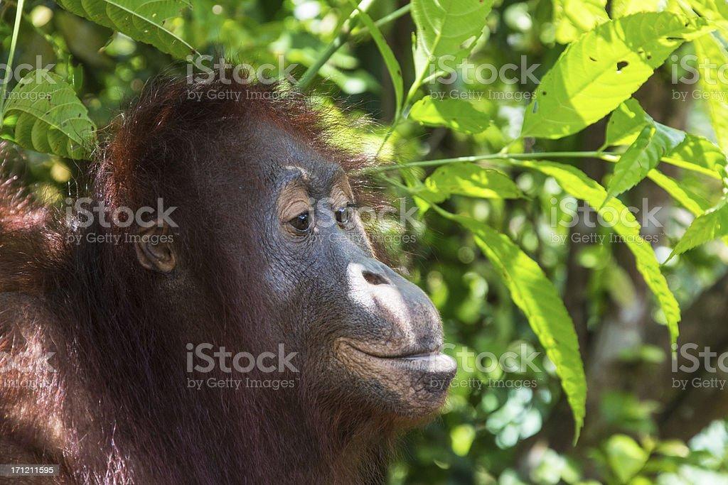 Orang Utan close up stock photo