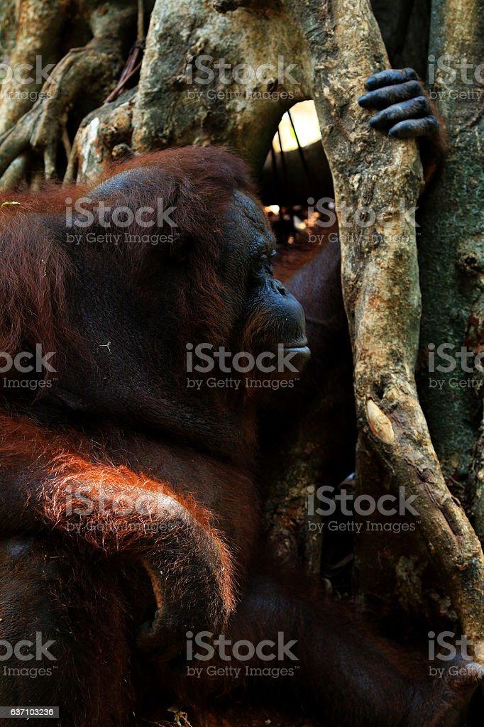 Orang Utan Kalimantan stock photo