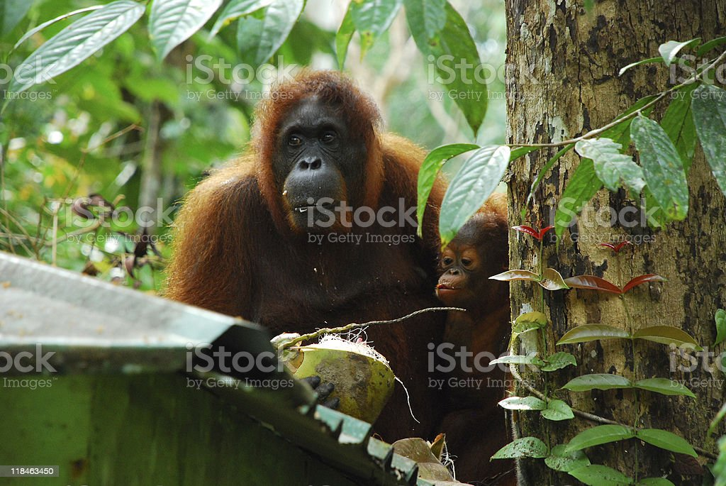 Orang utan mother and child royalty-free stock photo