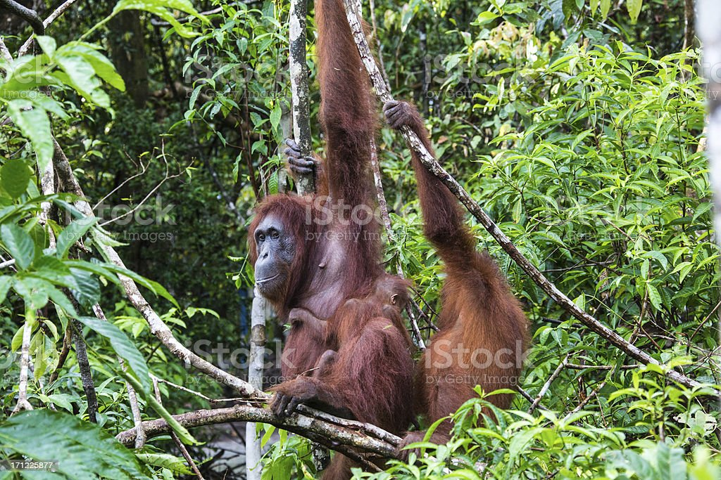 Orang Utan mother with baby sitting in the tree stock photo