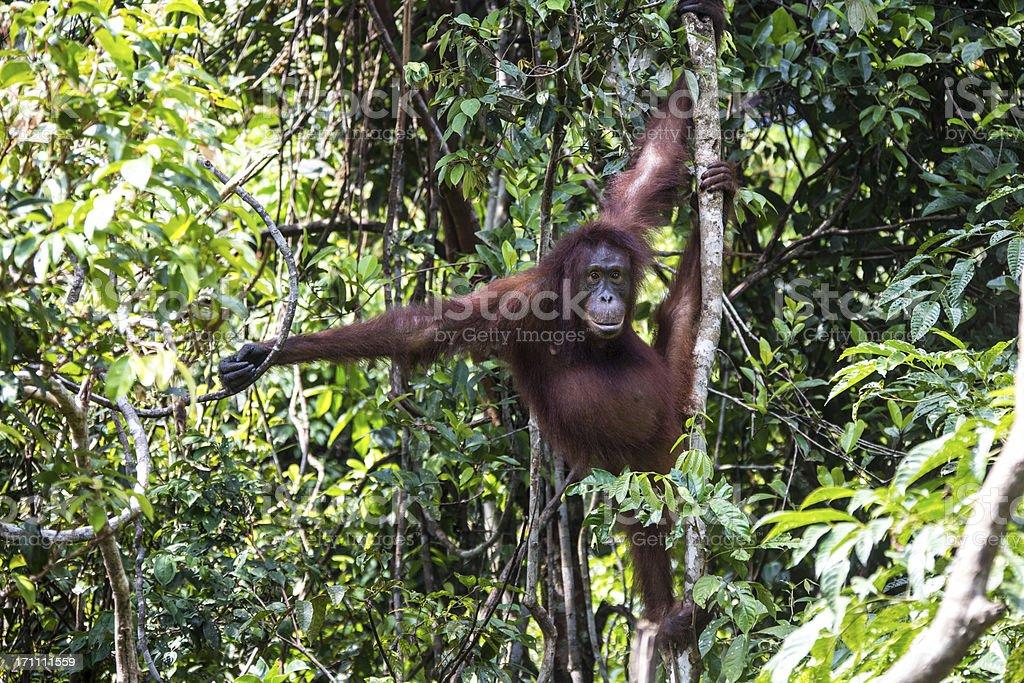 Orang Utan sitting in the tree stock photo