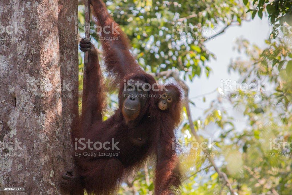 Orang utan with baby in tree tanjung puting stock photo