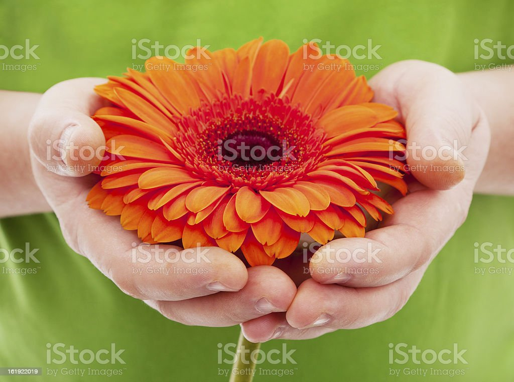 Orange African daisy in man's hands stock photo