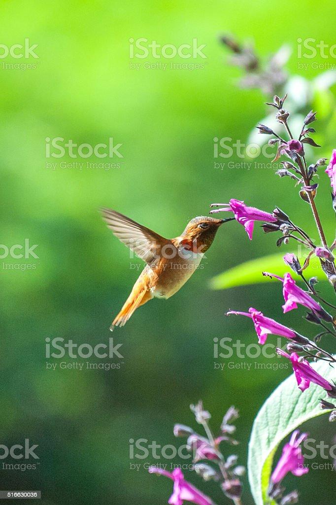 Orange Alan's Hummingbird with purple flowers stock photo