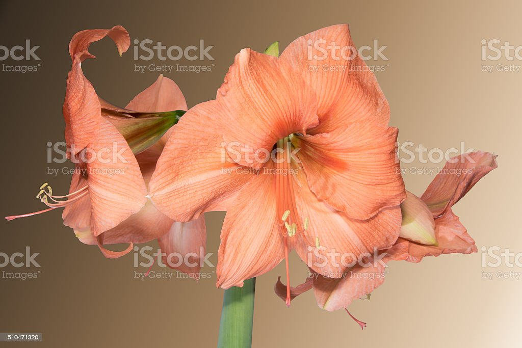 Orange Amaryllis royalty-free stock photo