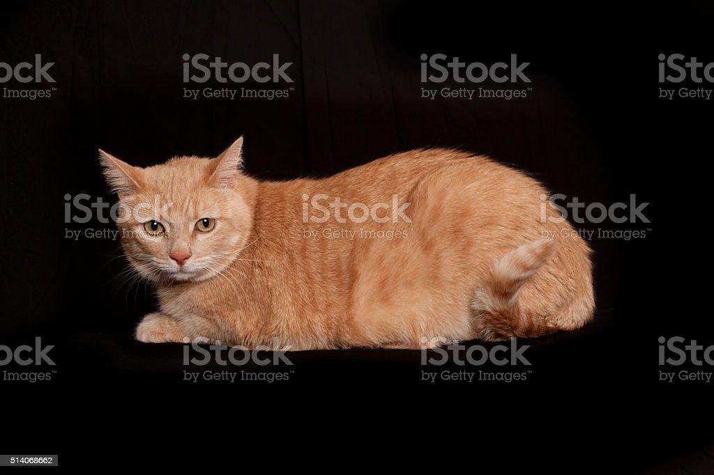 Orange American Short hair Tabby cat looking at camera stock photo