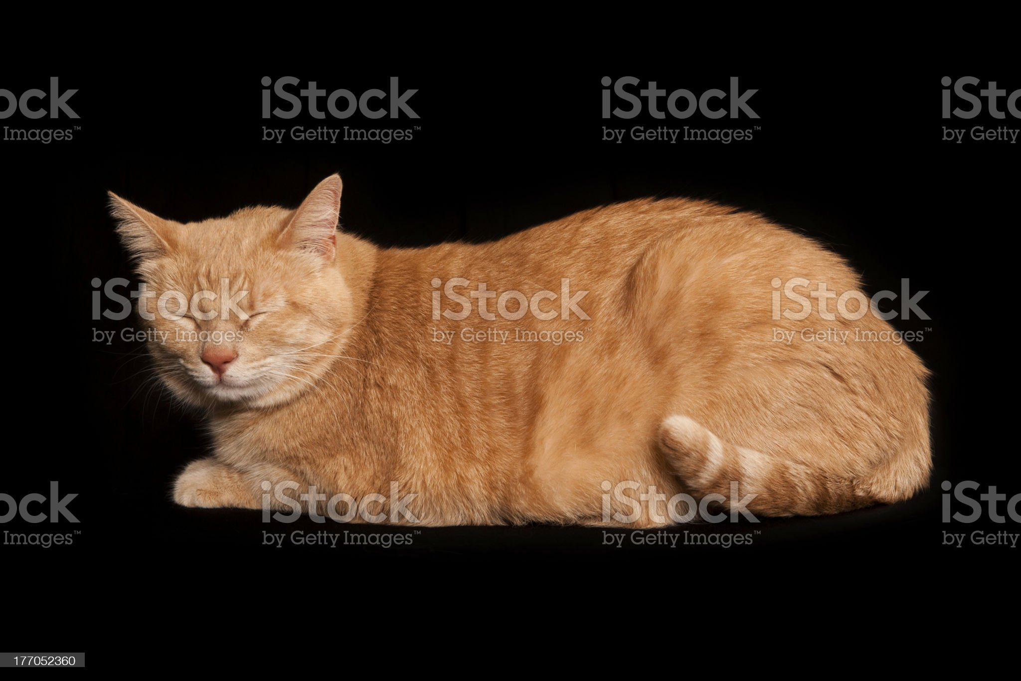 Orange American Short hair Tabby cat with eyes closed royalty-free stock photo