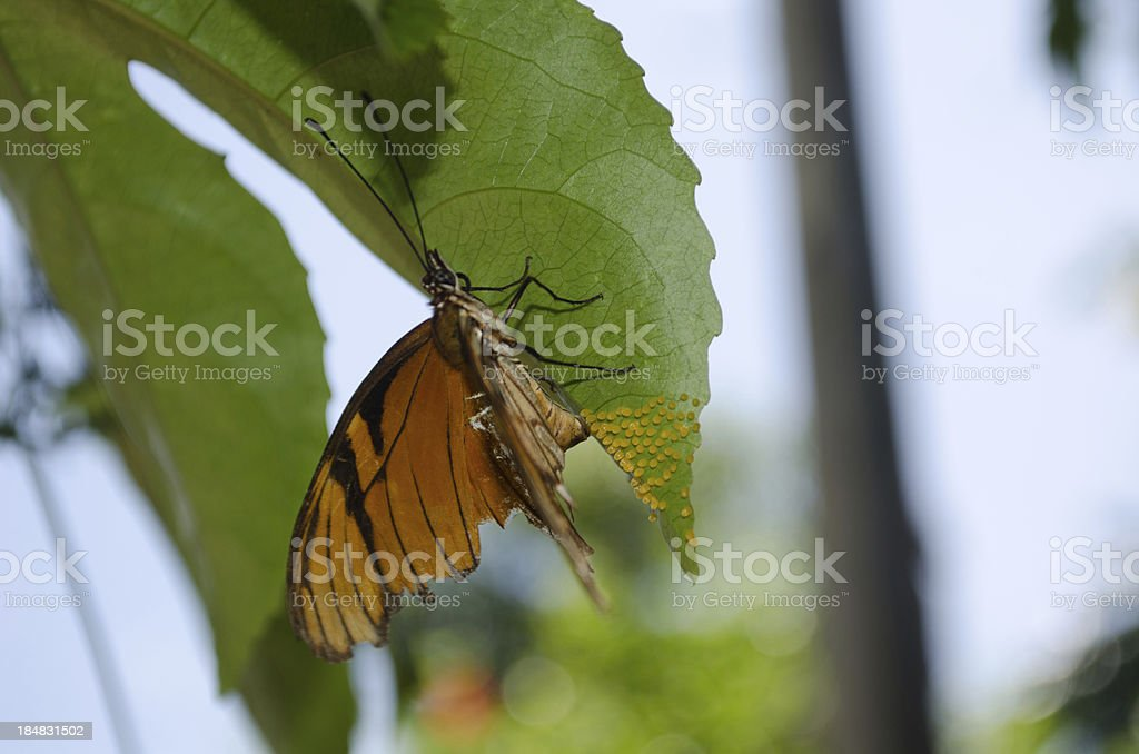 Orange and Black Butterfly laying eggs on leaf stock photo
