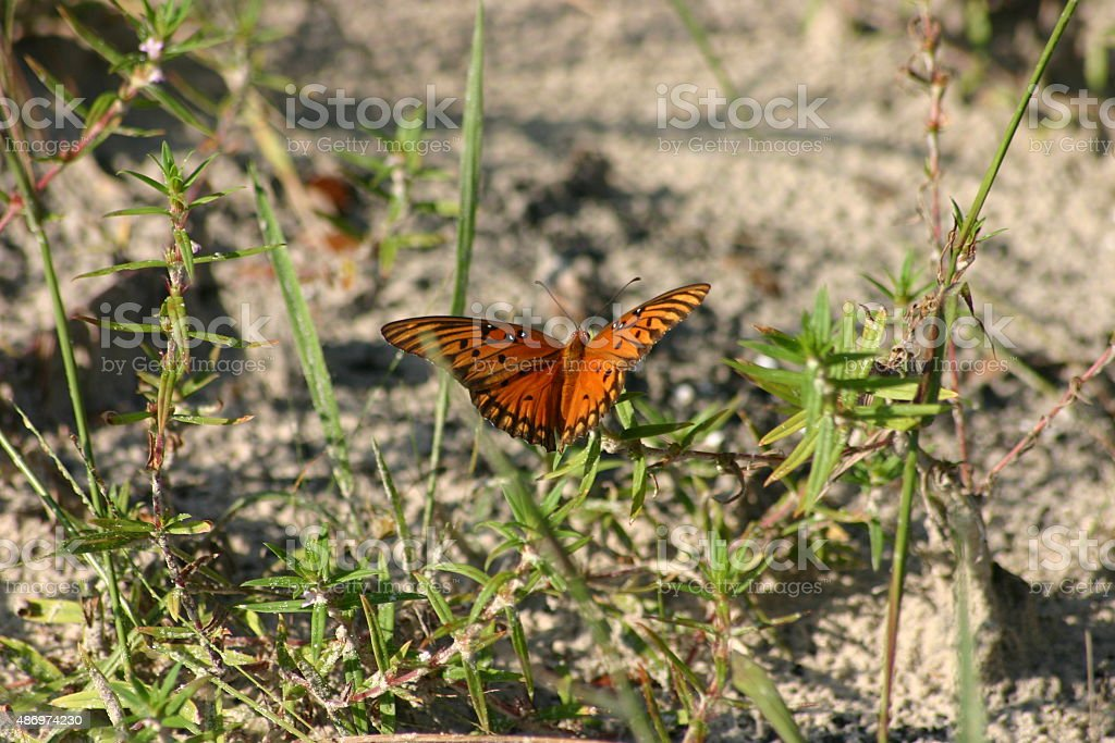 Papillon Orange et noir photo libre de droits