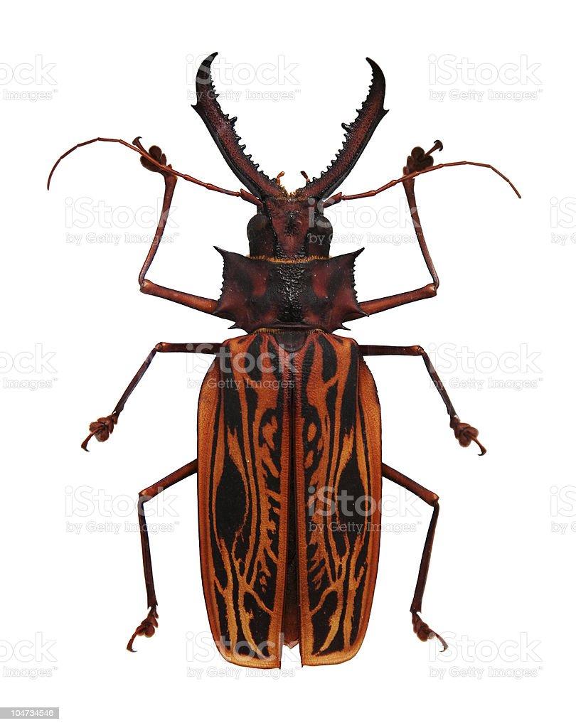 Orange and black horned beetle royalty-free stock photo